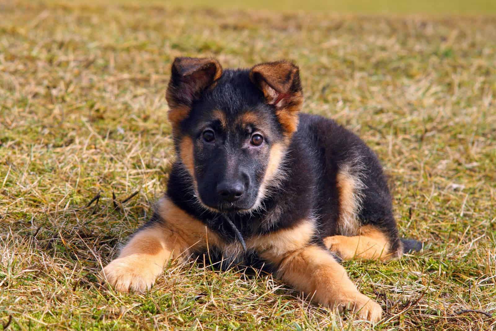 german shepherd puppy lying on the grass