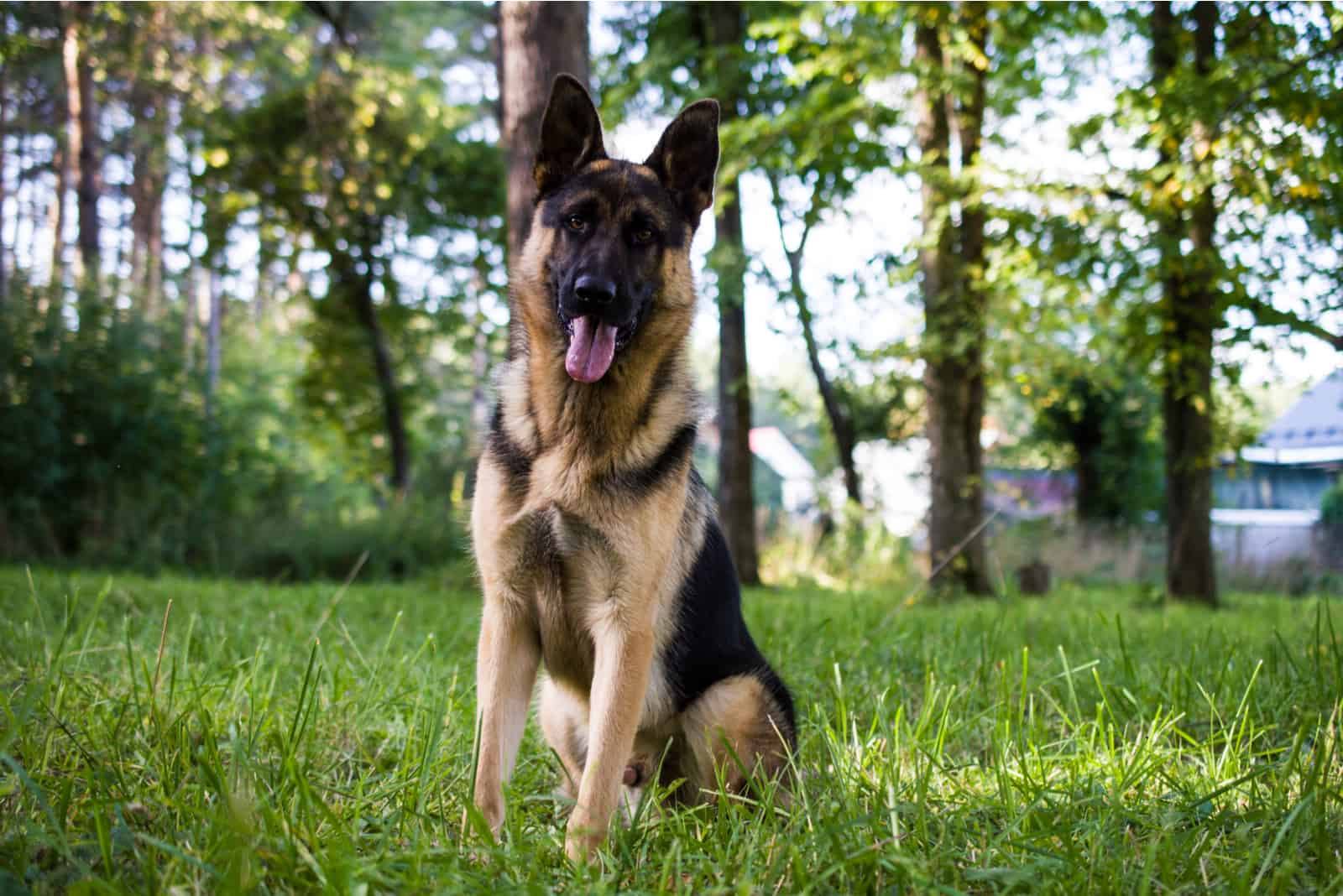 german shepherd sitting on the grass in the park