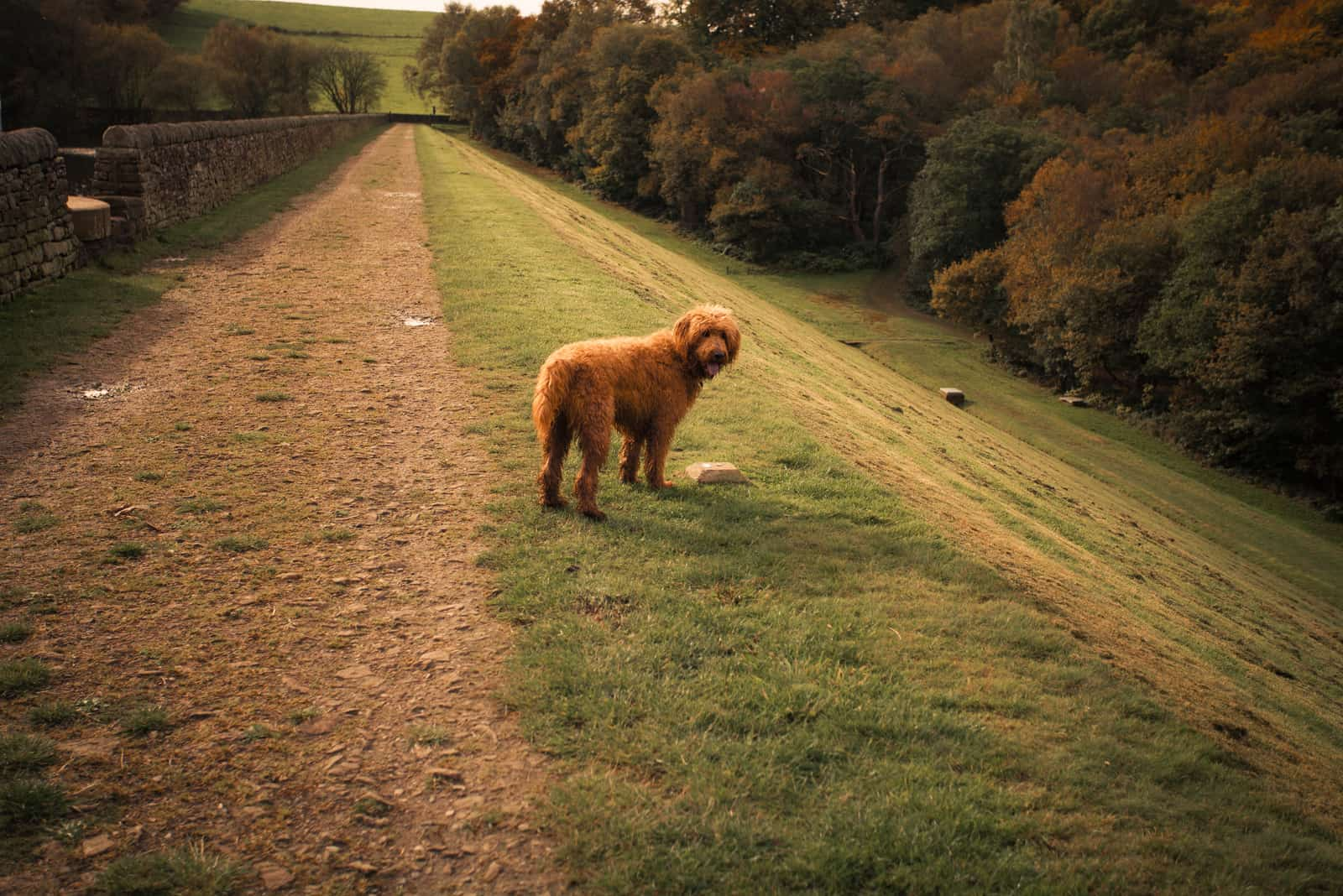 goldendoodle dog stands in a natural autumn setting