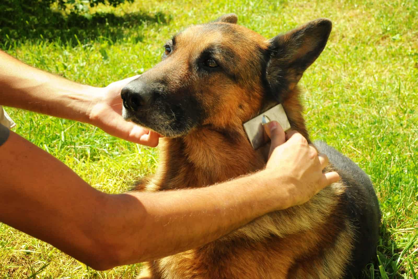 grooming german shepherd dog