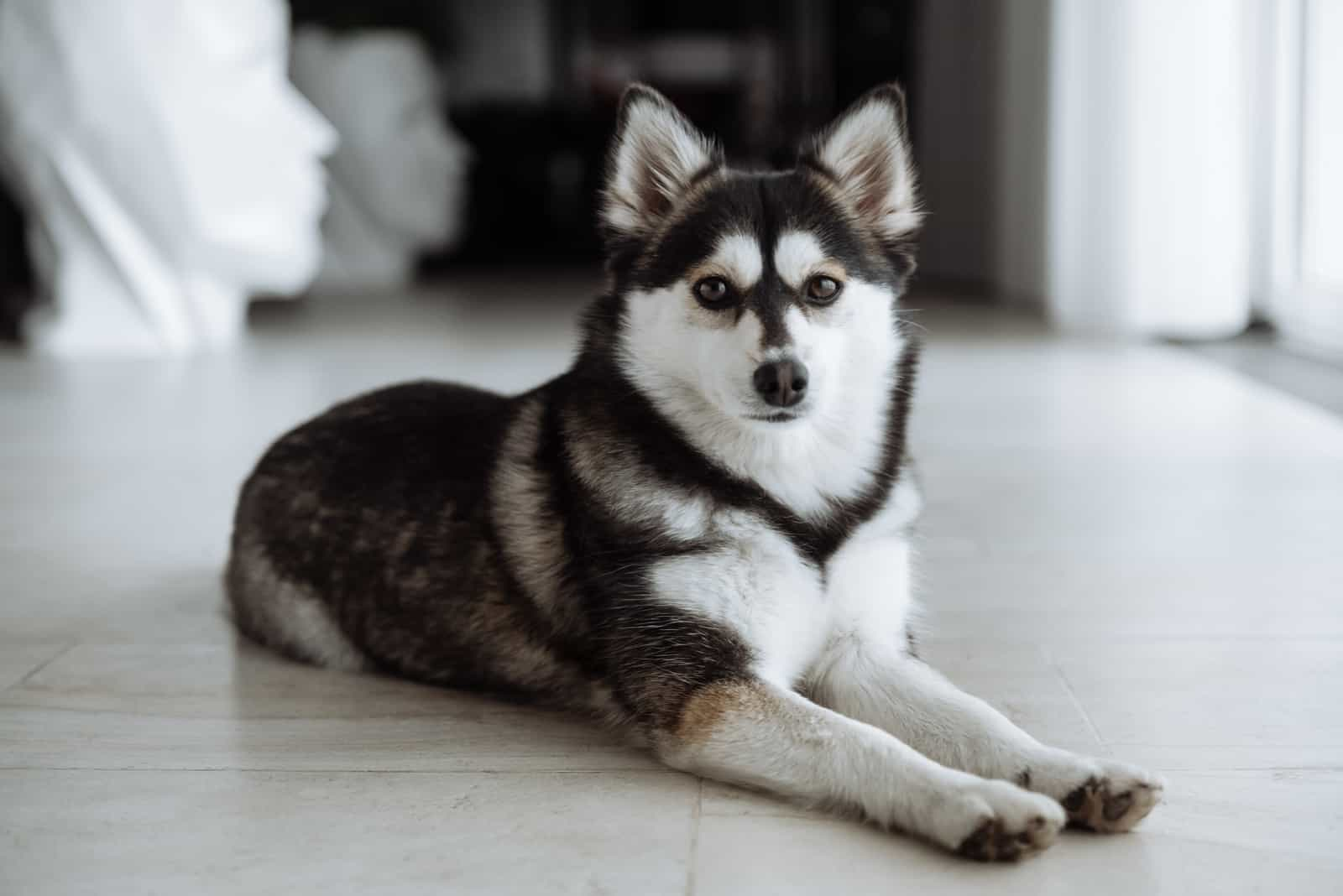 pomsky dog lies on the floor in the house