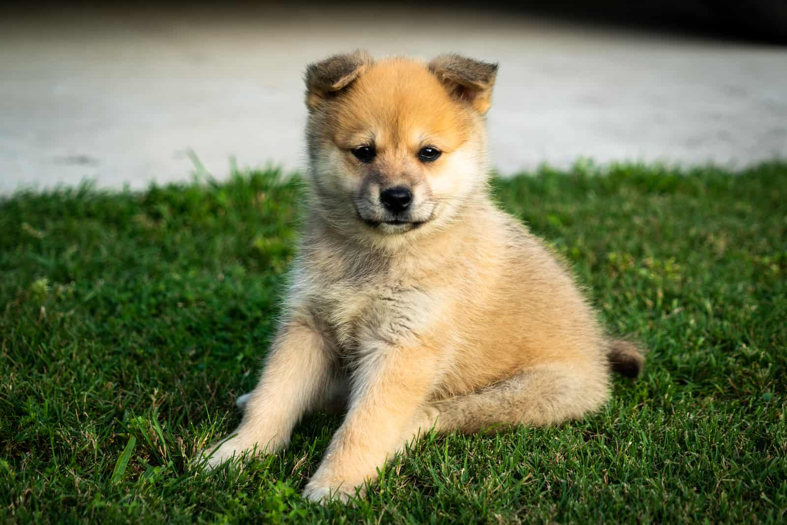 pomsky puppy sitting on the grass