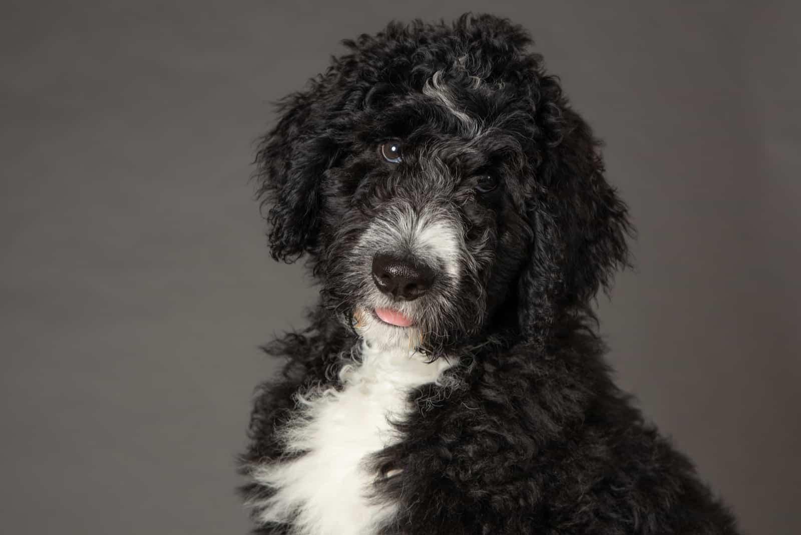 portrait of a black bernedoodle dog
