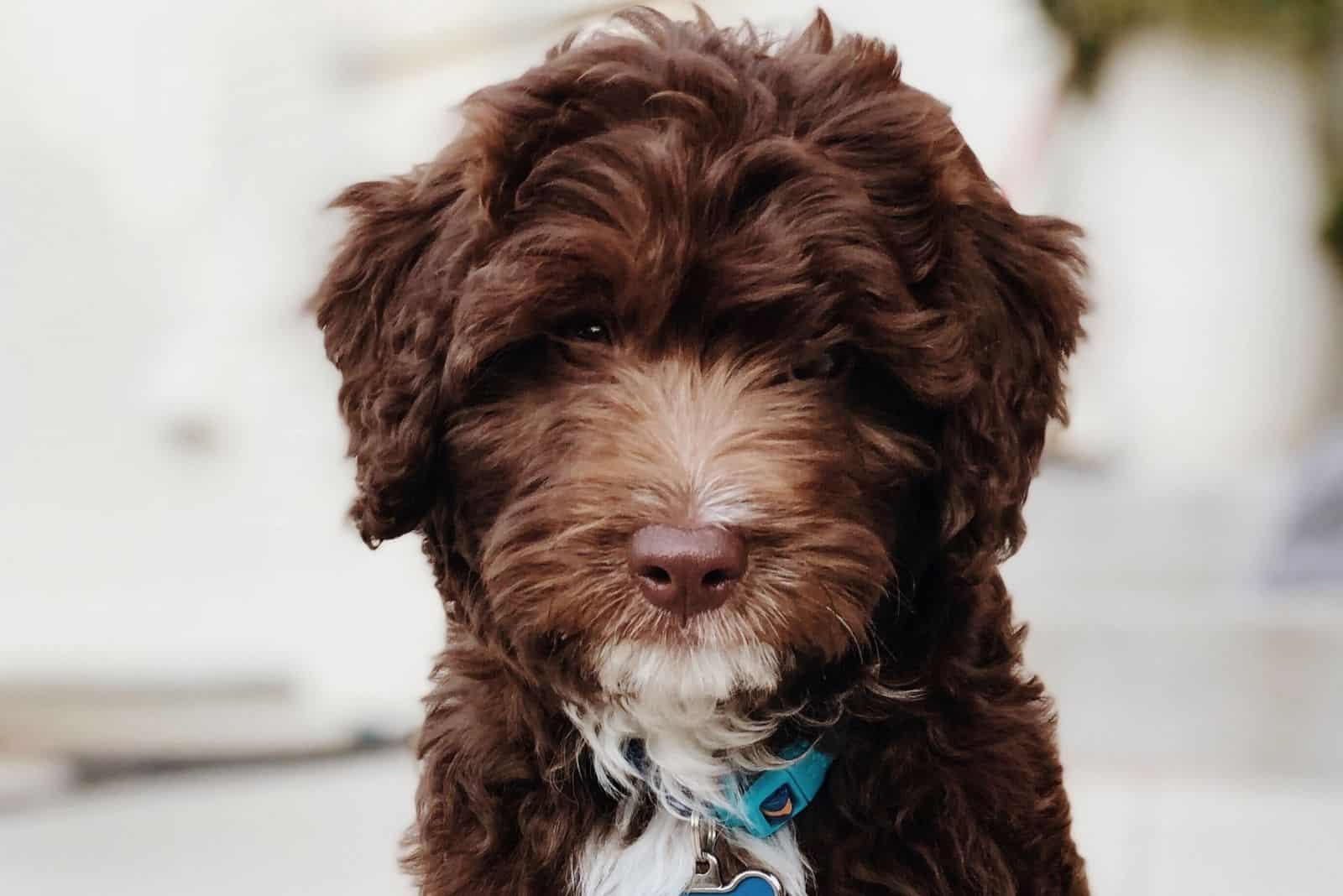 portrait of a chocolate bernedoodle dog