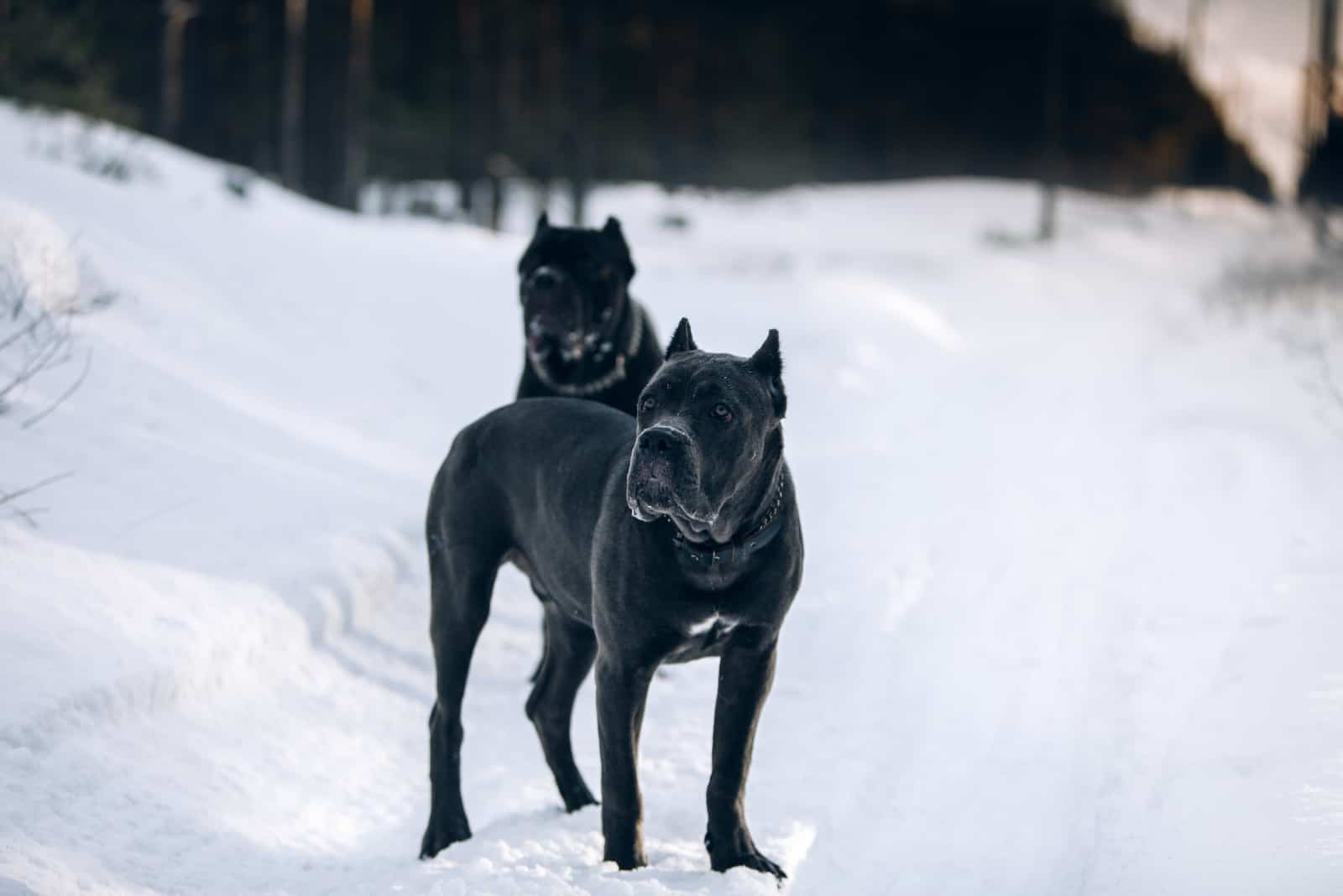 two cane corso dogs are standing in snow
