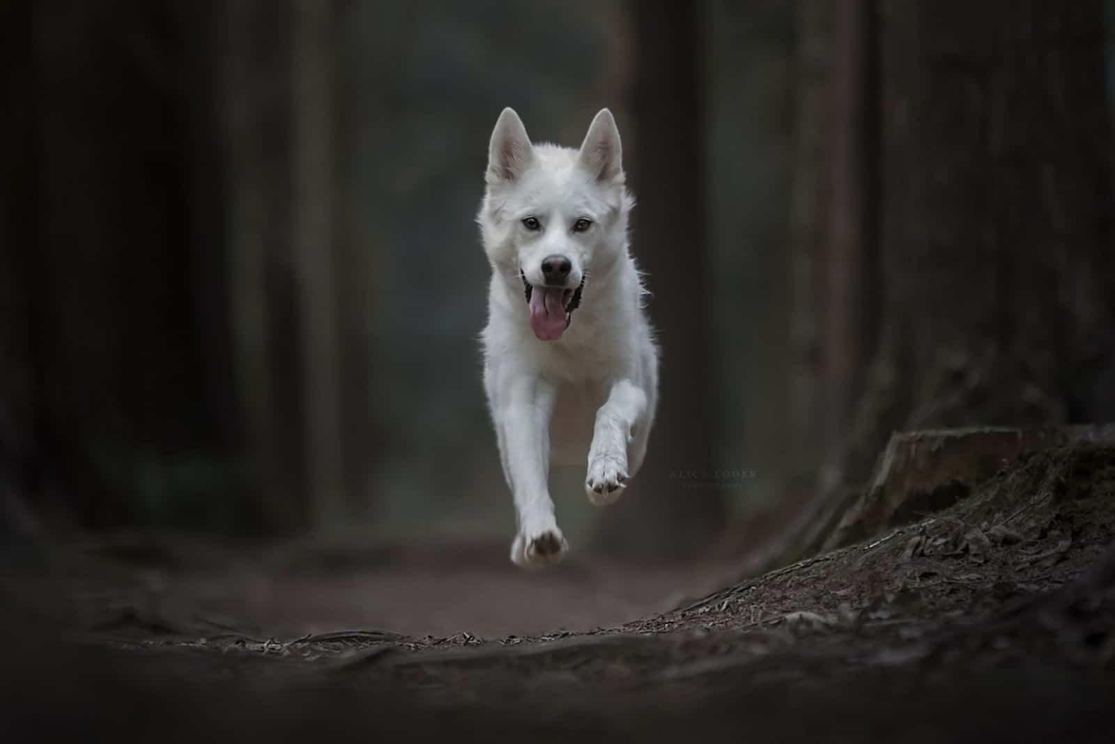 white gerberian husky running