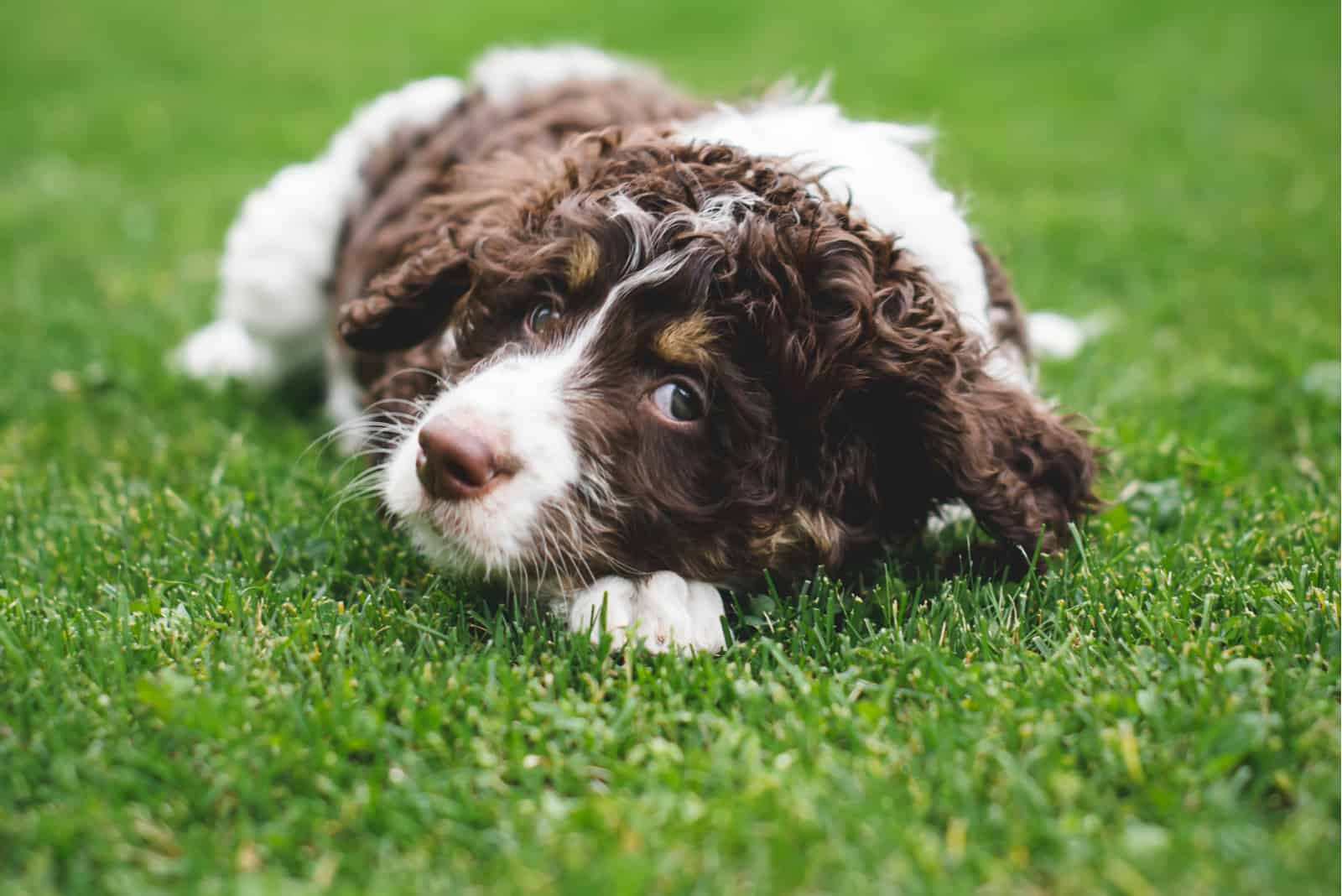 Adorable bernedoodle puppy laying on the grass outside