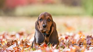 cute basset hound sitting in the dried leaves in autumn park
