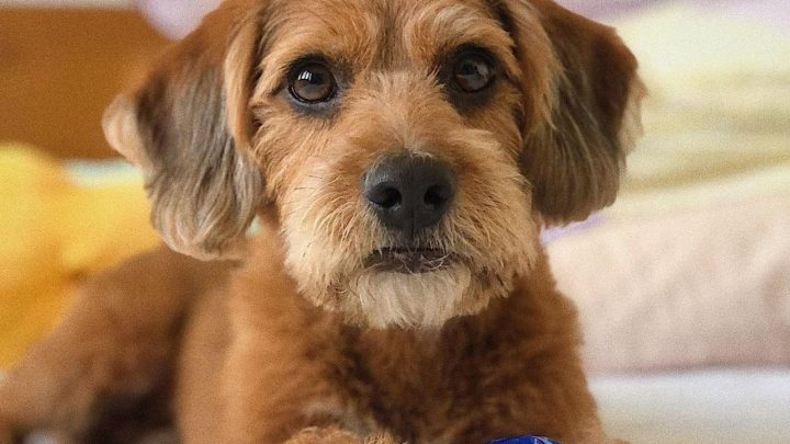 Beagle Poodle Mix: A Dog That Will Melt Your Heart