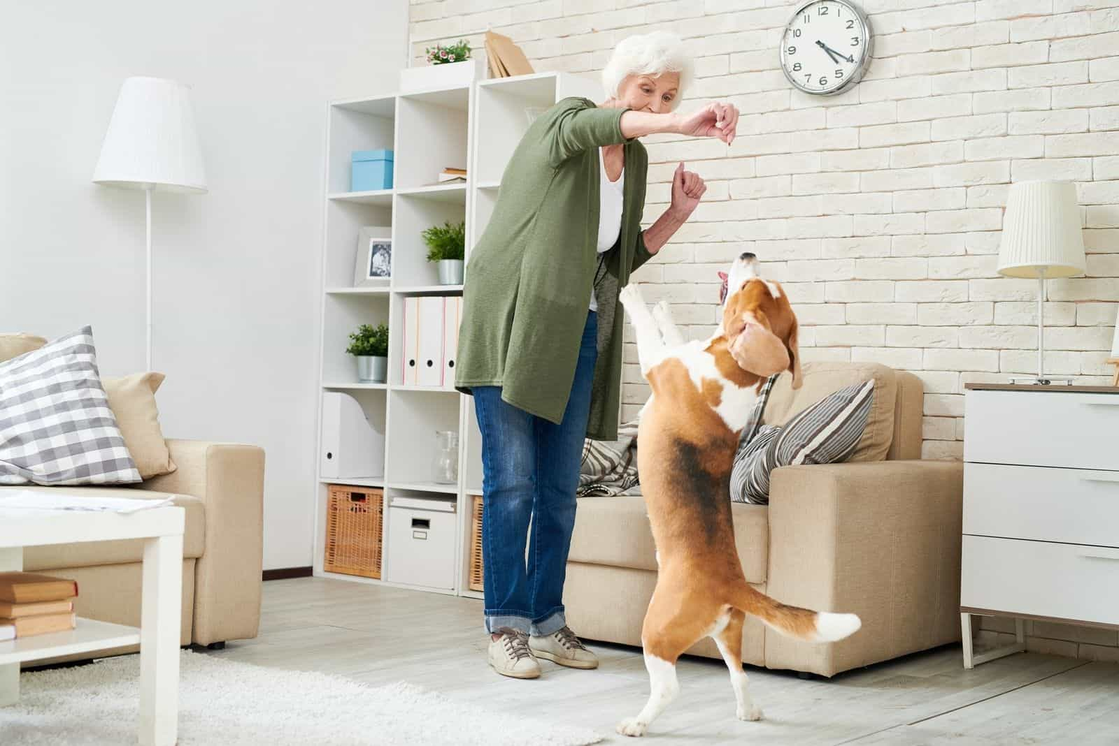 Cheerful ecstatic modern senior woman in casual clothing holding dogs treat while training Beagle dog at home, pet standing on hind legs ad asking food