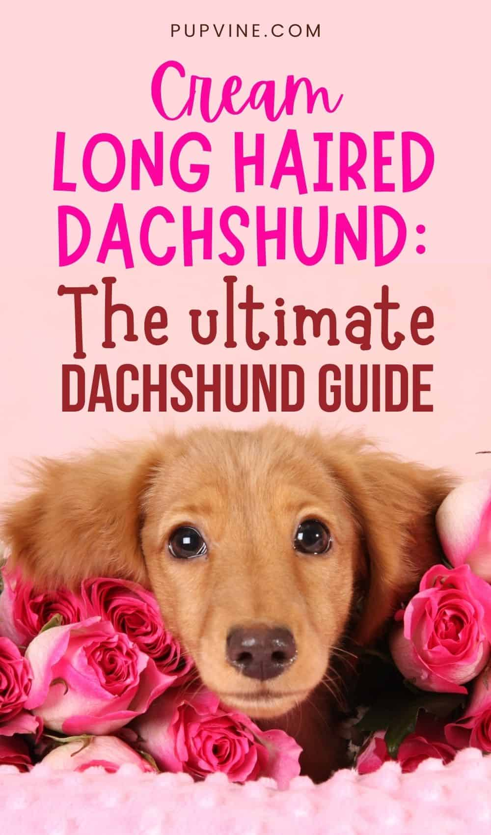 Cream Long Haired Dachshund The Ultimate Dachshund Guide