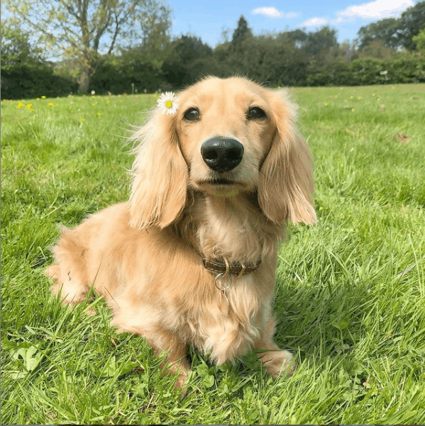Cream Long Haired Dachshund on grass outside