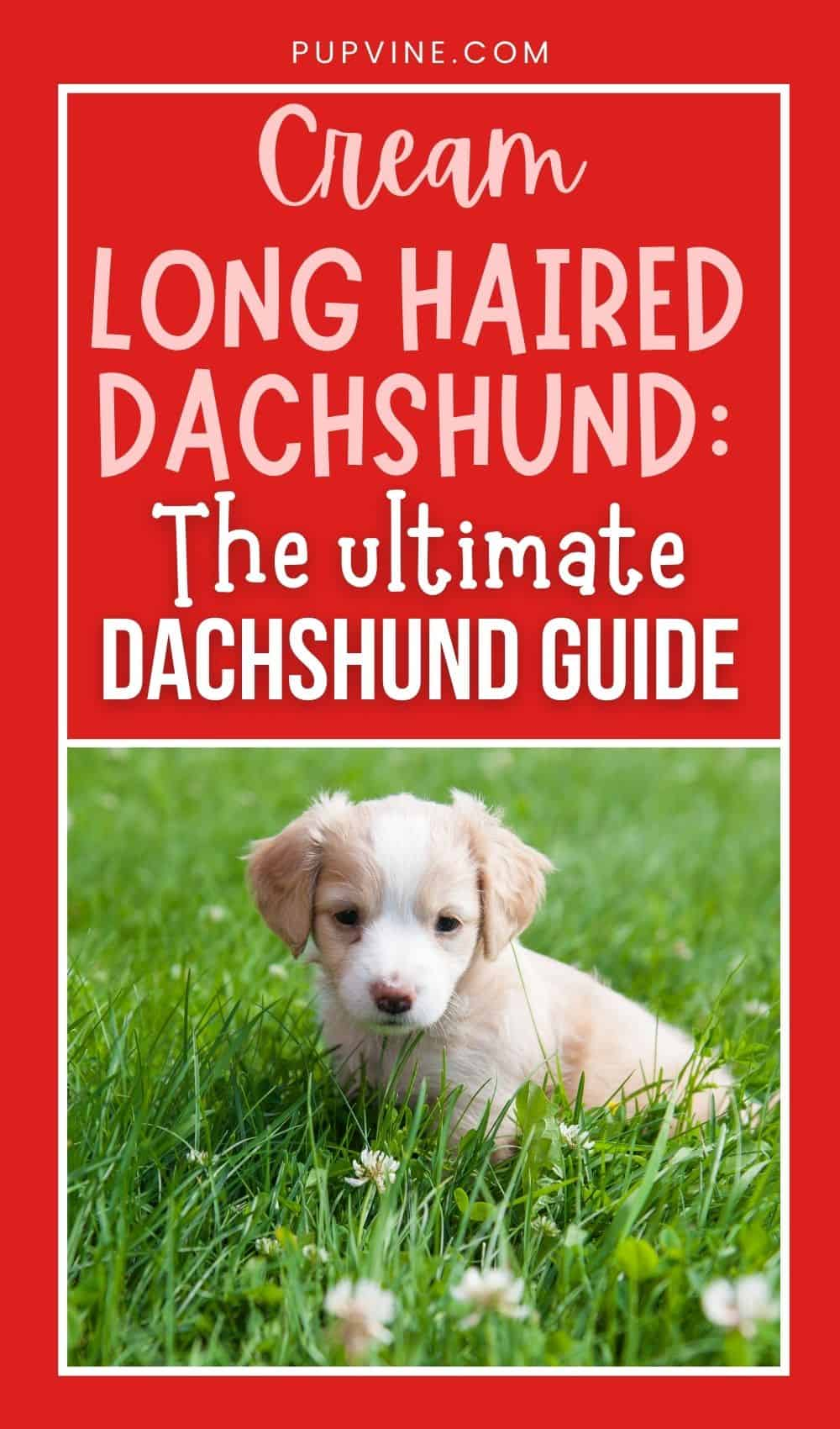 Cream Long Haired Dachshund: The Ultimate Dachshund Guide