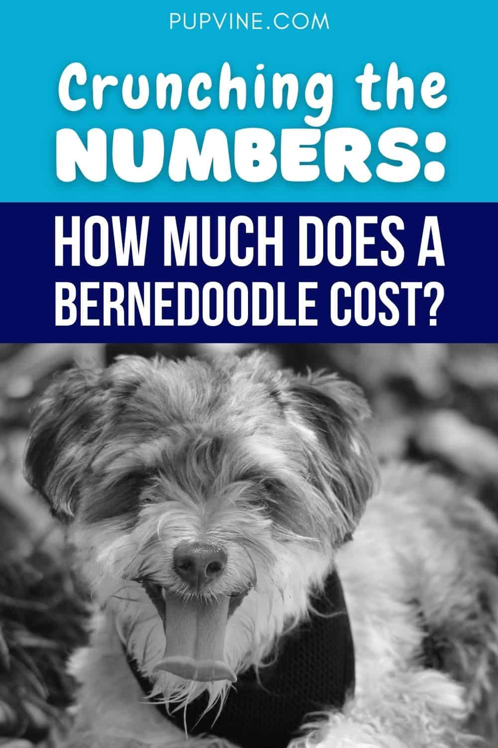 Crunching The Numbers How Much Does A Bernedoodle Cost