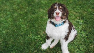 adorable bernedoodle in the grass