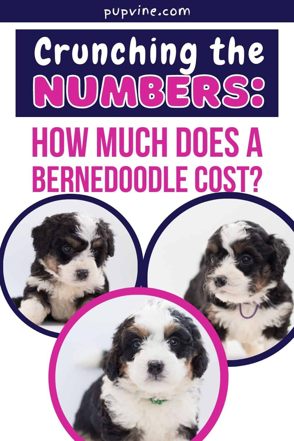 Crunching The Numbers: How Much Does A Bernedoodle Cost?