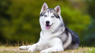 portrait of s siberian husky lying down on the ground outdoors