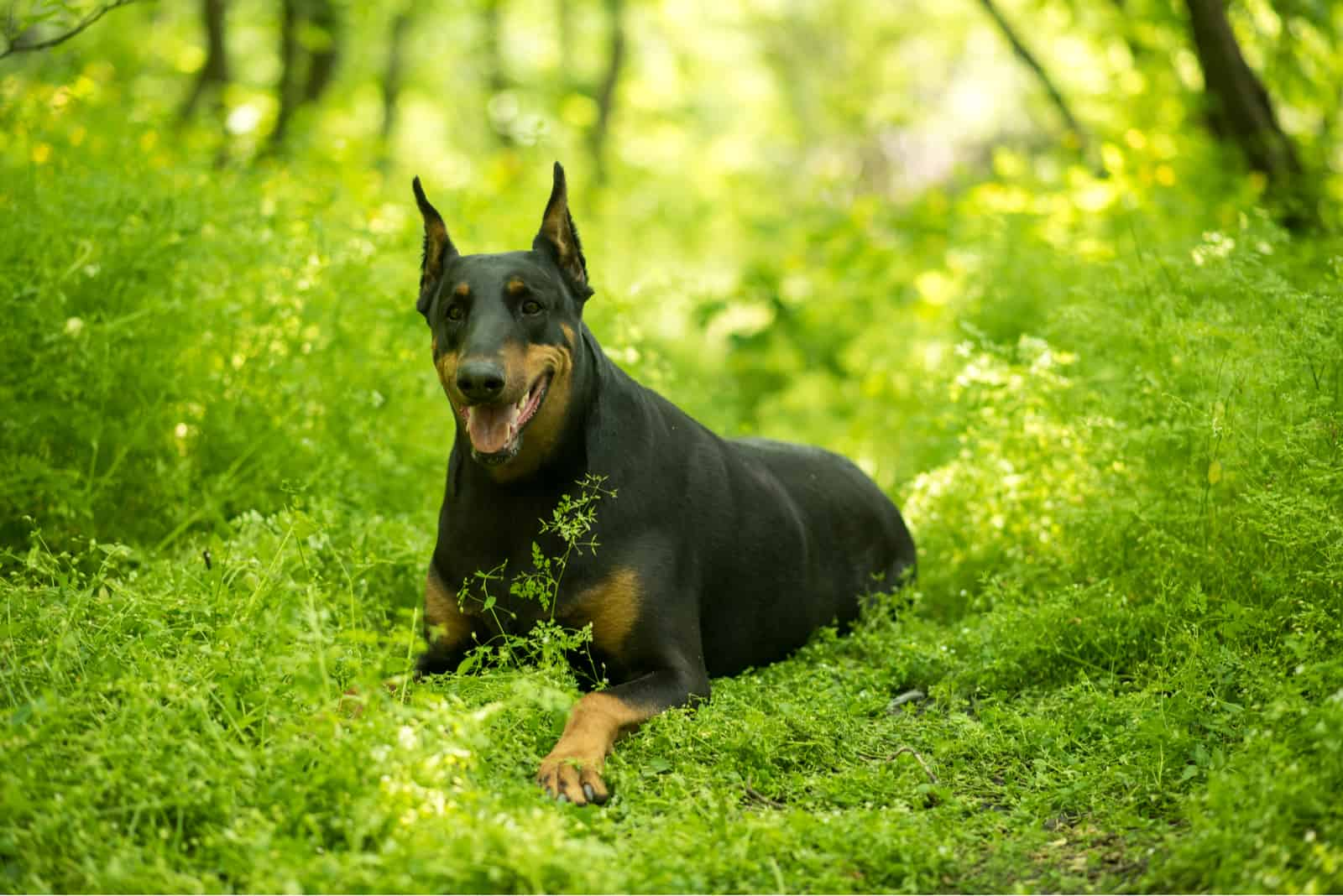 Doberman lies on the grass in the forest