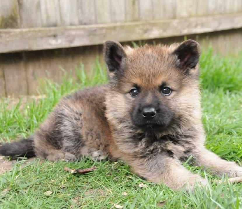 Dwarf German Shepherd sitting on the grass