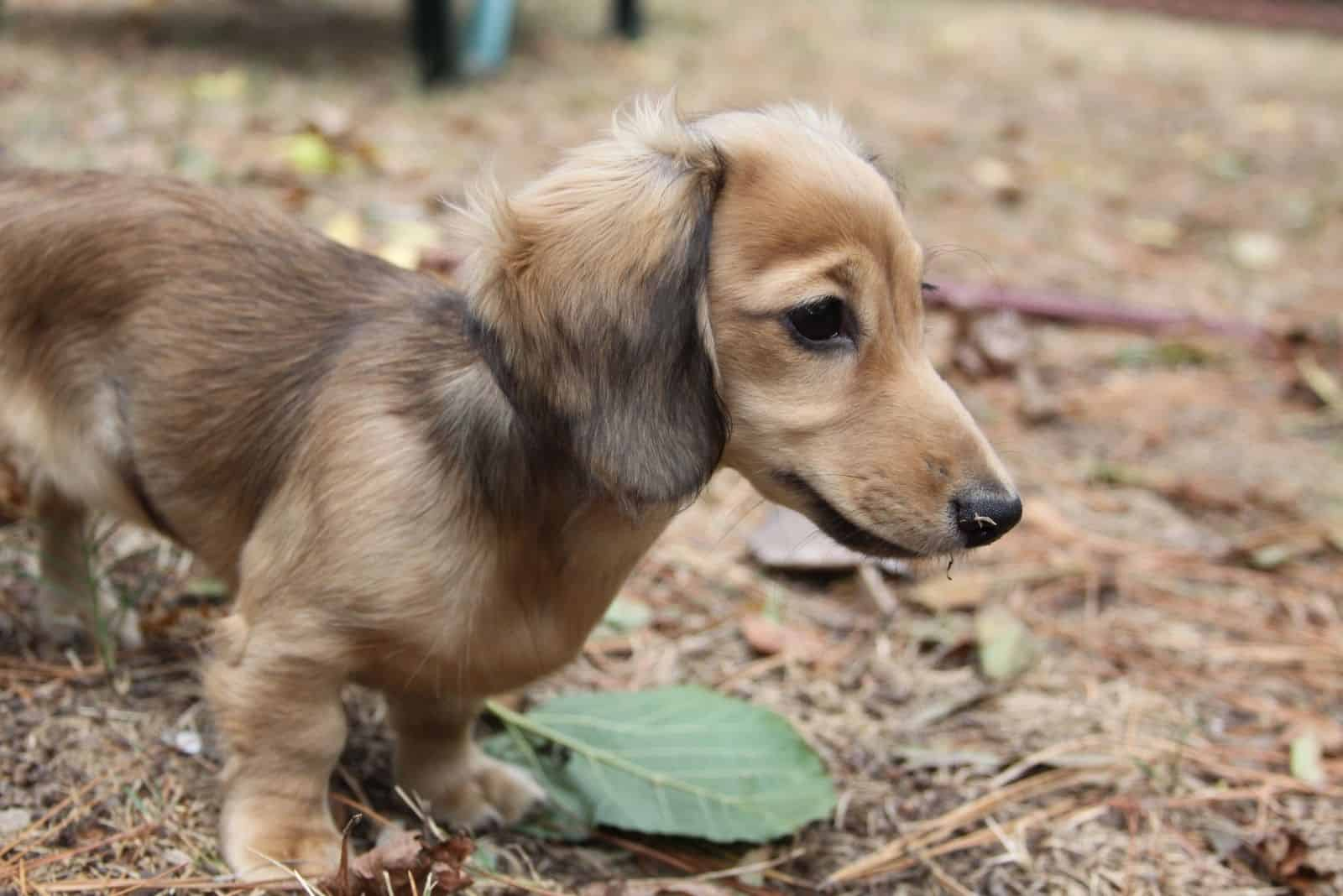 English Cream Long-haired Miniature Dachshund puppy standing outdoors