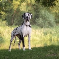 Great Dane standing on grass