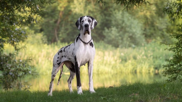 Great Dane Lifespan: Why You Should Cherish Every Minute Spent With This Breed