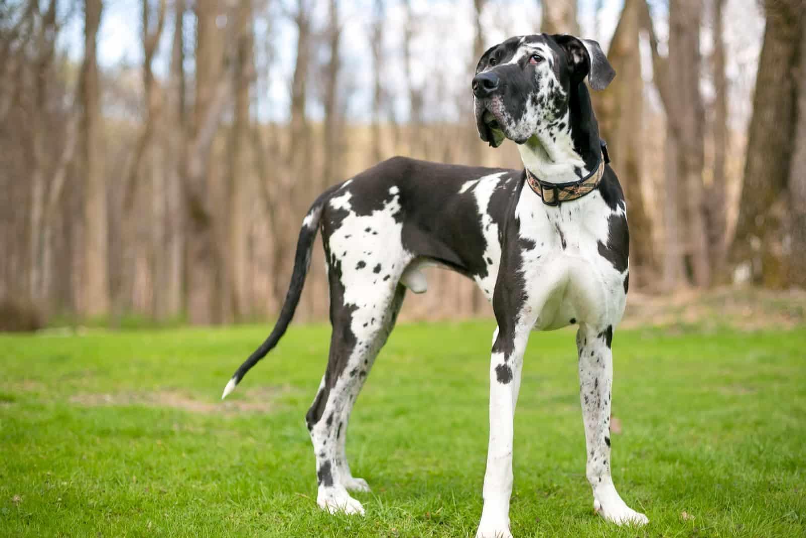 black and white purebred Harlequin Great Dane dog outdoors