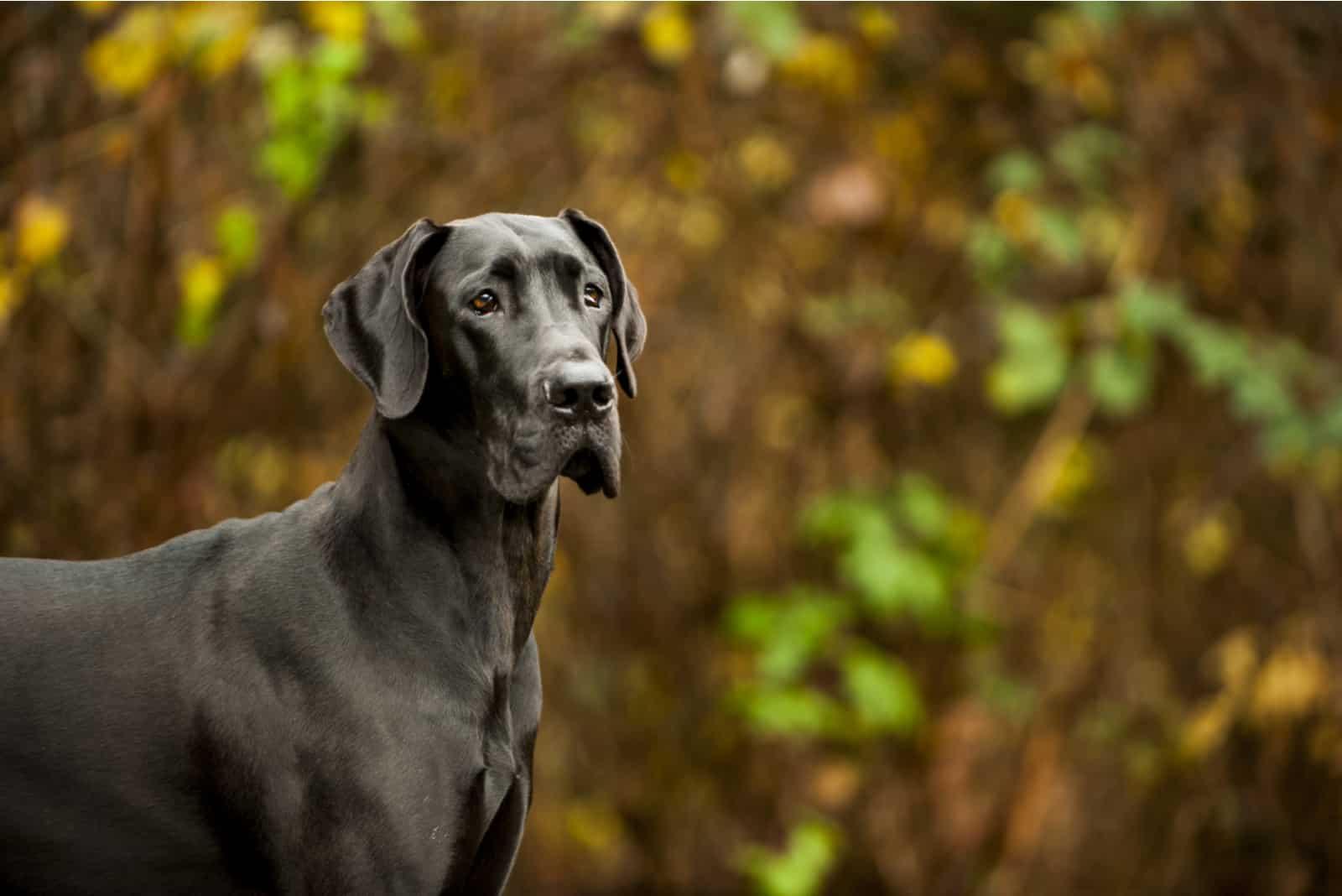 Great Dane standing in front of vegetation