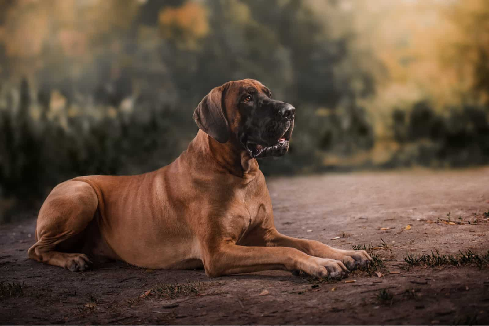 Great dane Dog lying outdoors