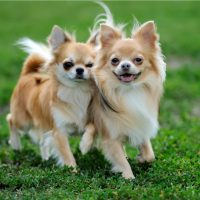 Two long haired Chihuahua dogs on green summer grass