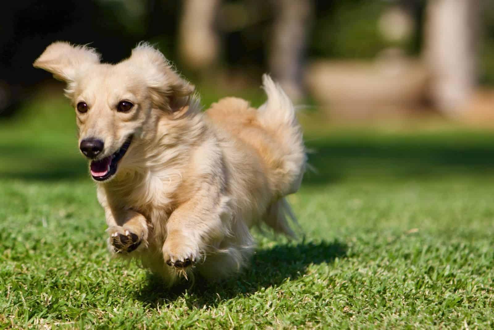 Long haired cream dachshund running outdoors