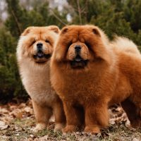 two chow chow dogs standing