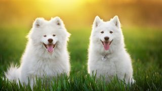 two Samoyed dogs in the green field