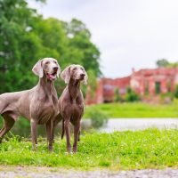 two weimaraner dogs standing on the grass