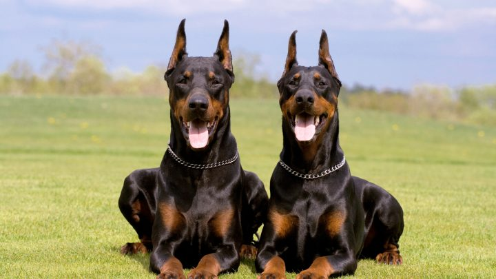 Male vs. Female Doberman: Which One Is Better Suited For You?