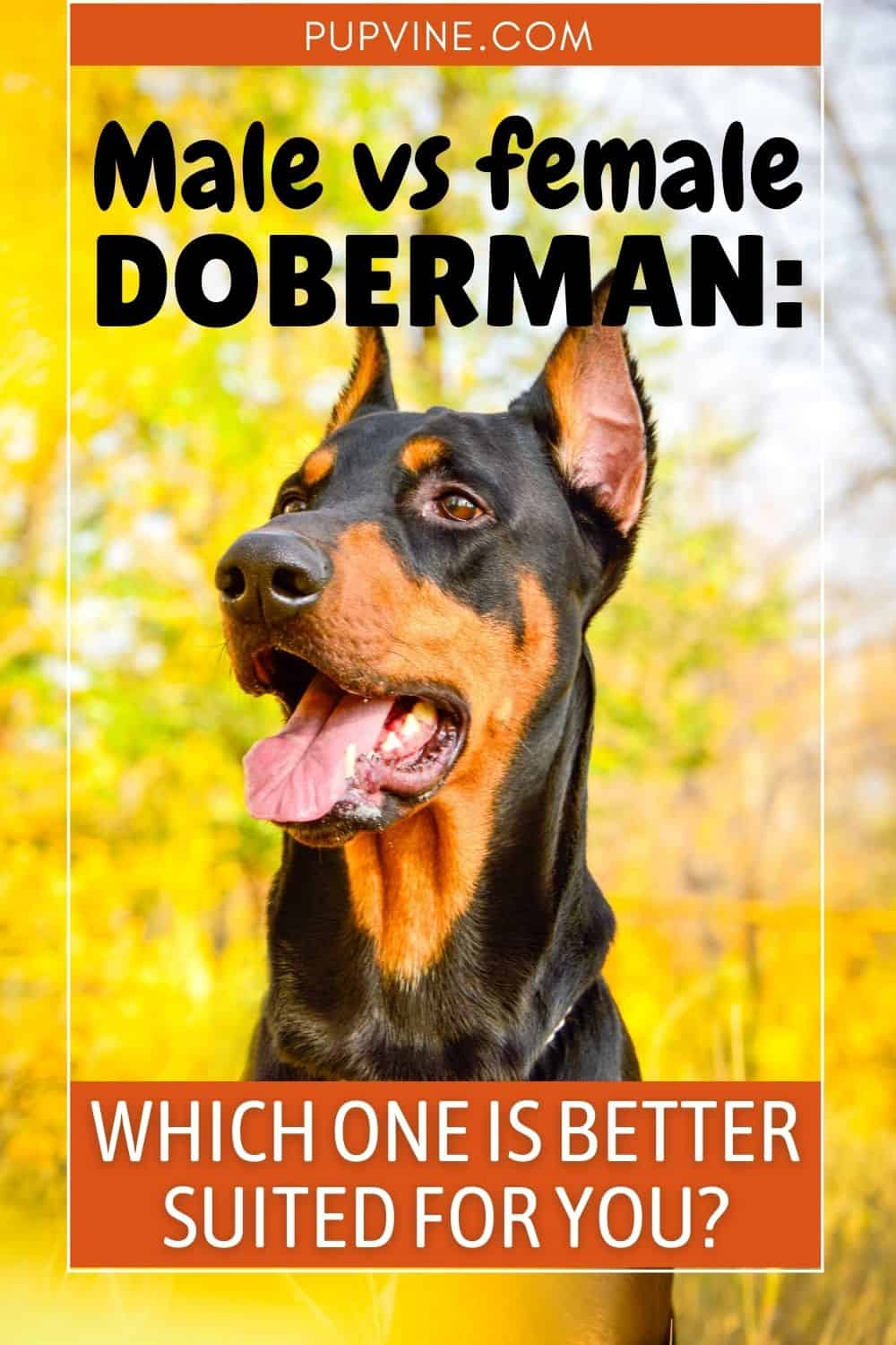 Male vs. Female Doberman Which One Is Better Suited For You