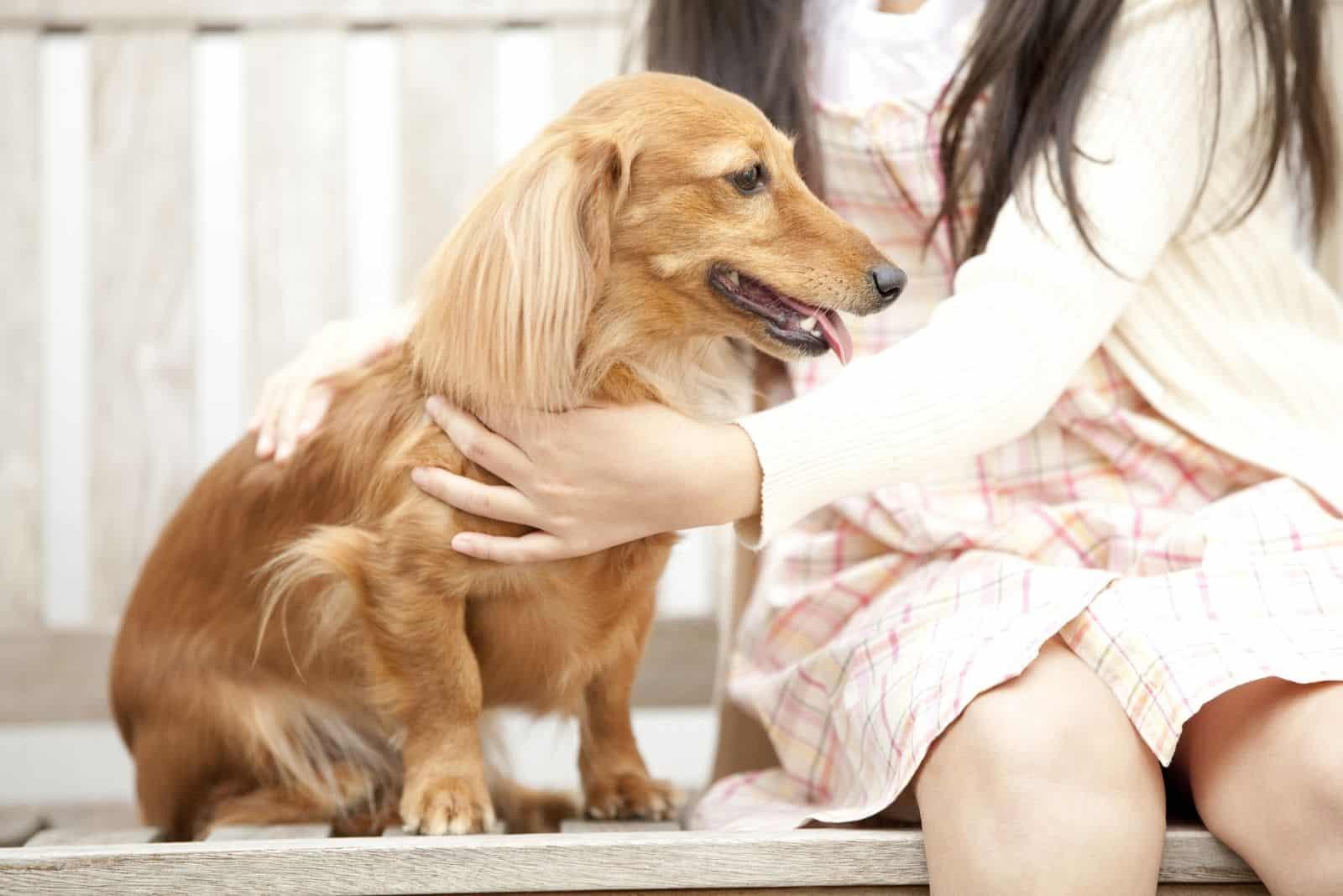 miniature long hair dachshund pet by a little girl