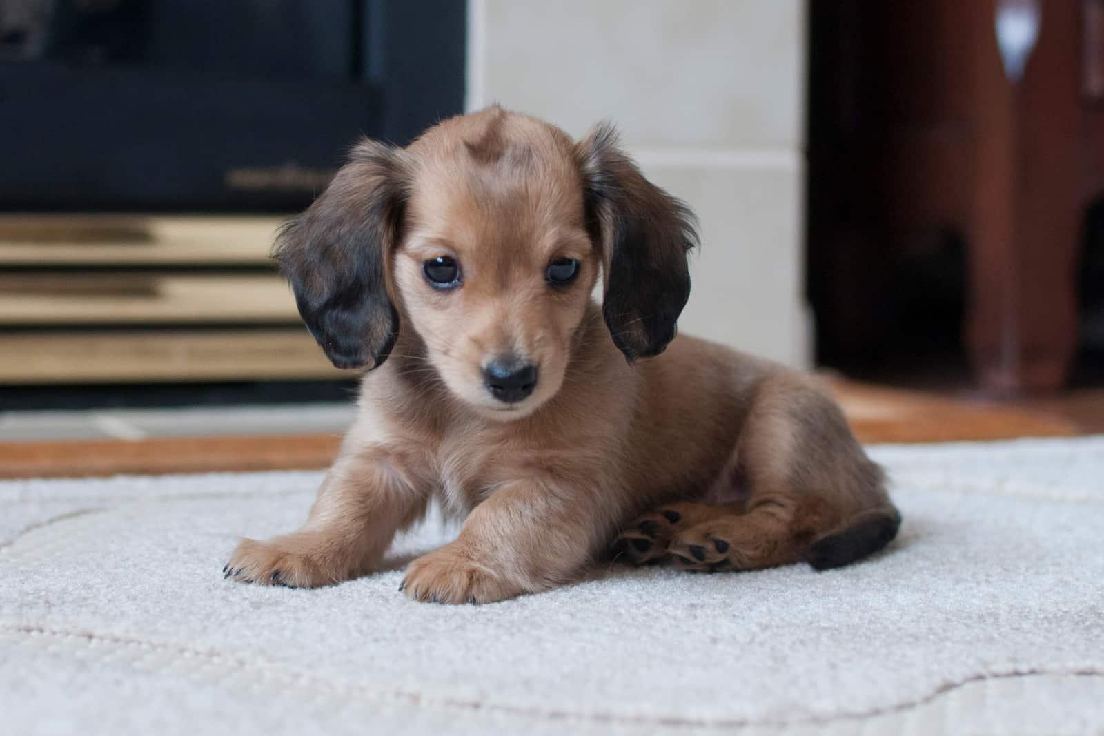Shaded English Cream Miniature Dachshund Puppy Sitting