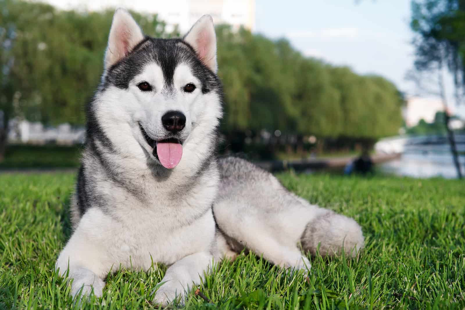 Siberian Huskies lying on the grass