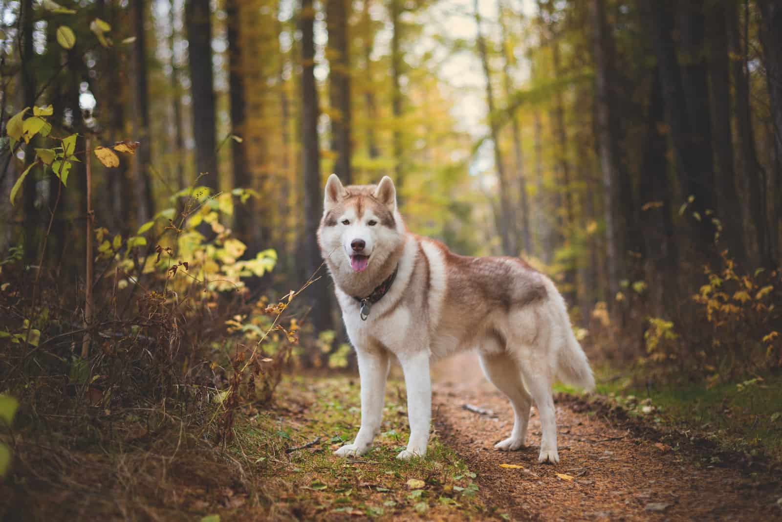 Siberian Husky dog standing in the bright enchanting fall forest