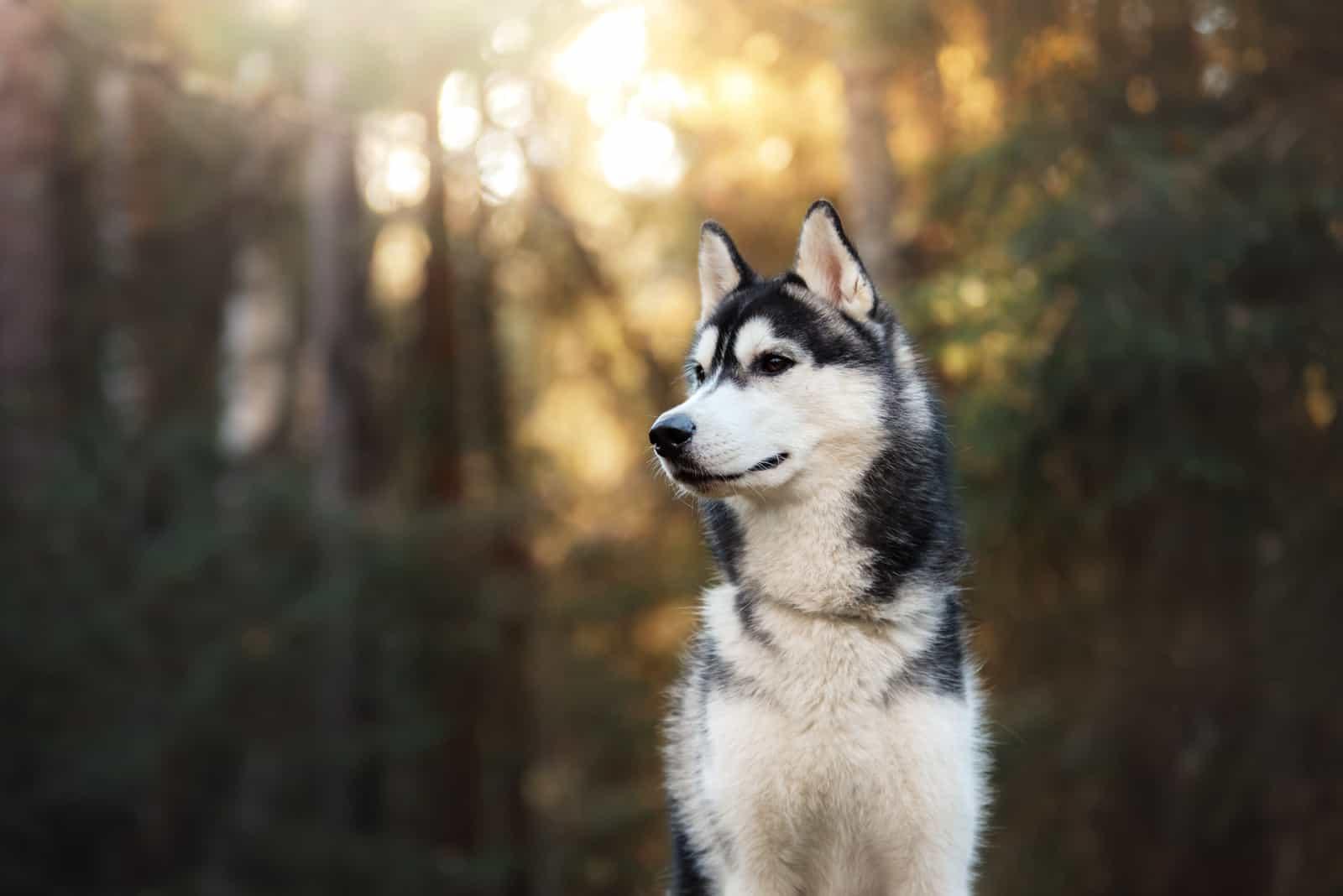Siberian Husky standing in forest