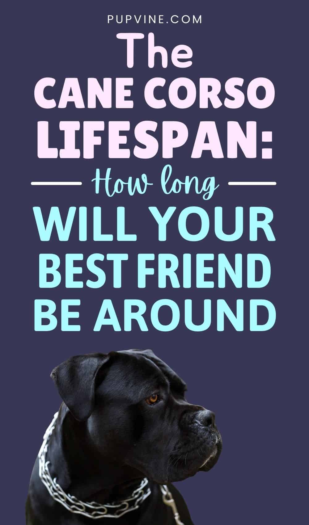 The Cane Corso Lifespan: How Long Will Your Best Friend Be Around