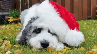 cute sheepadoodle with a santa hat lying down on ground