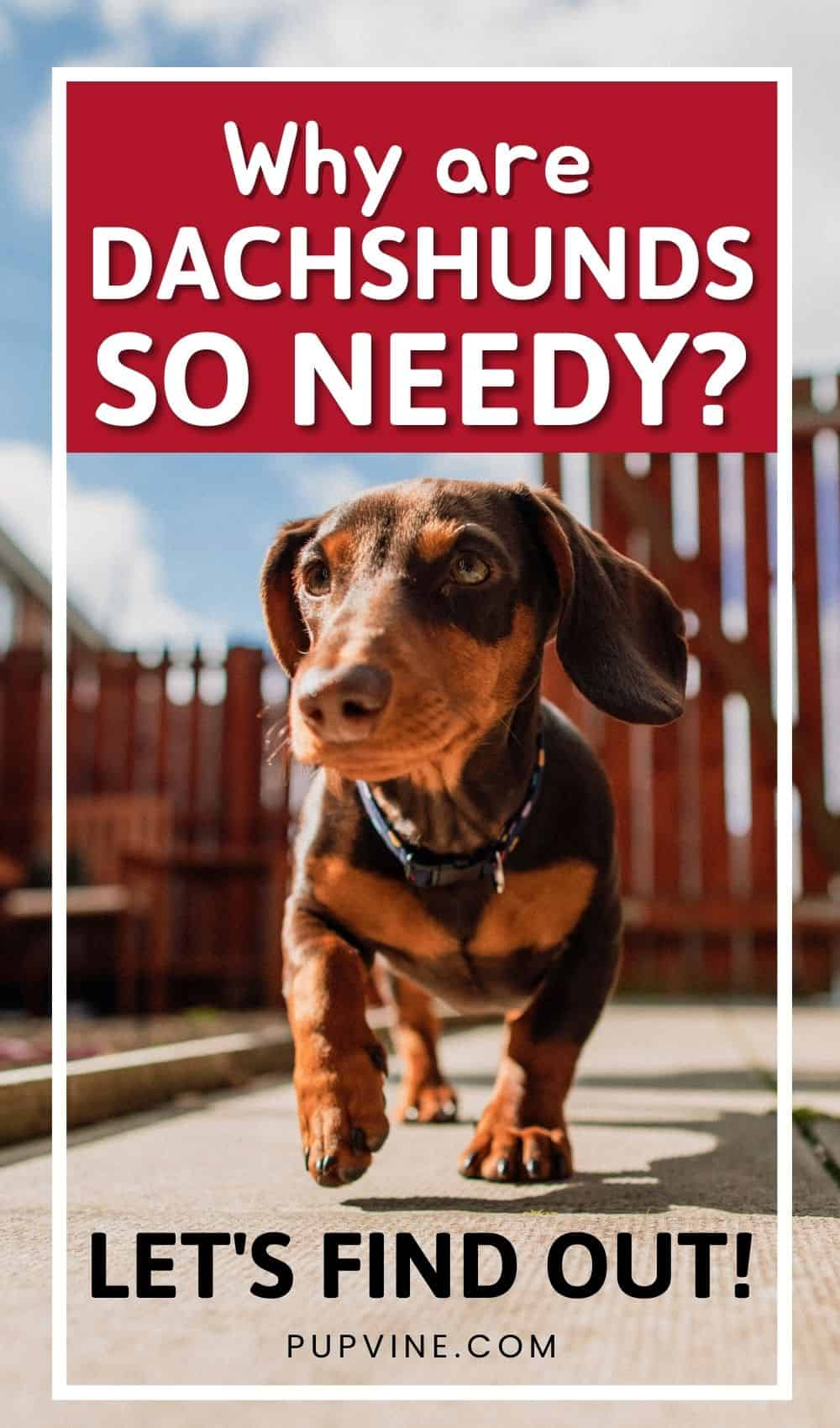 Why Are Dachshunds So Needy Let's Find Out!