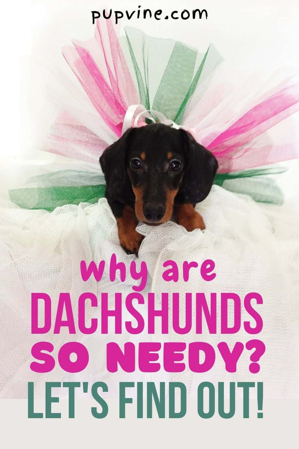 Why Are Dachshunds So Needy? Let's Find Out!