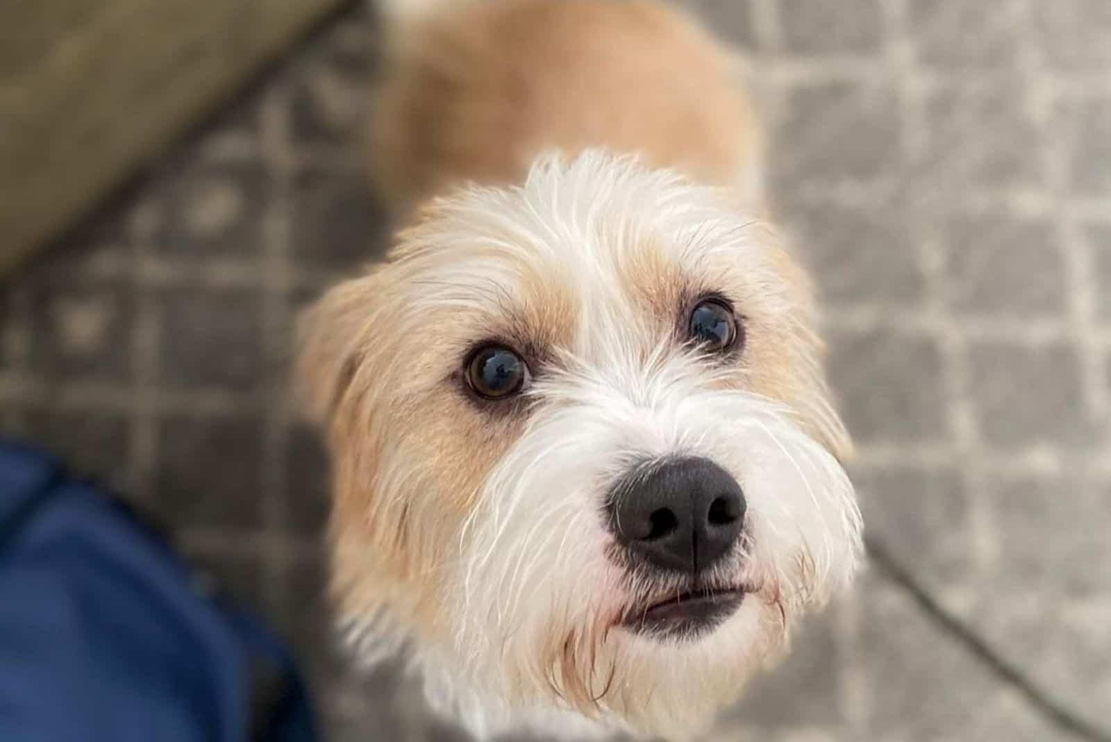 beagle poodle mix dog