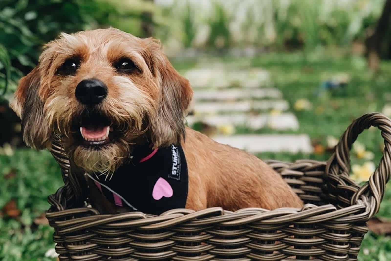 beagle poodle mix puppy