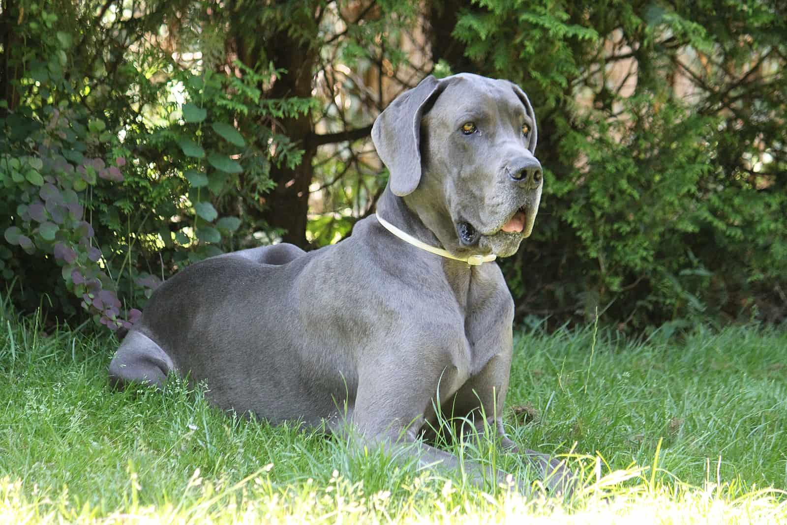 beautiful great dane is lying in the garden