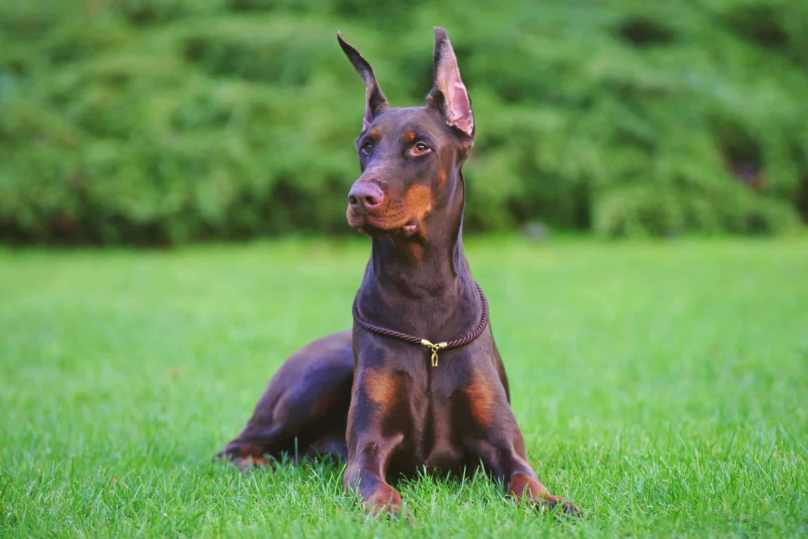 brown Doberman dog with cropped ears lying outdoors