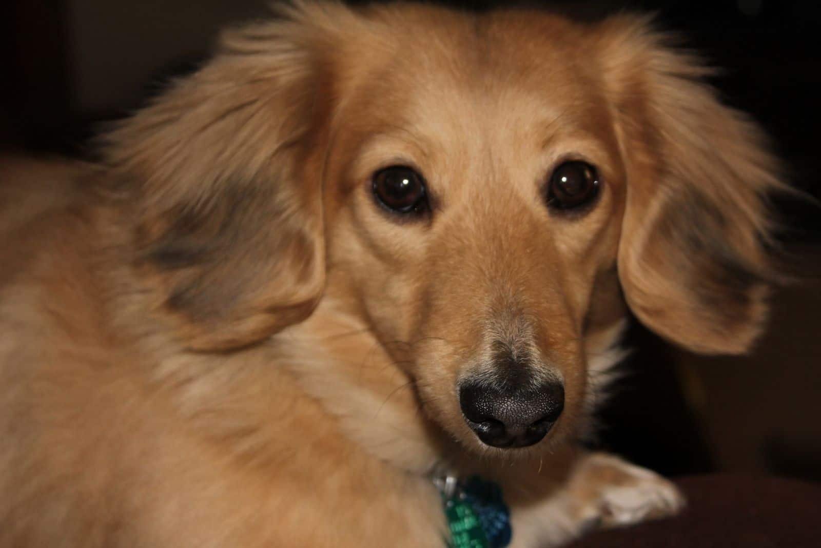 cropped image of a dog long haired cream dachshund